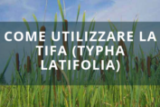 Come utilizzare la Tifa (Typha latifolia)