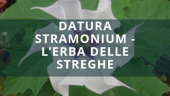 Datura Stramonium - L'erba delle streghe